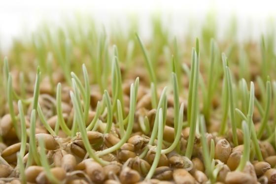 пророщенные семена подсолнечника польза и вред