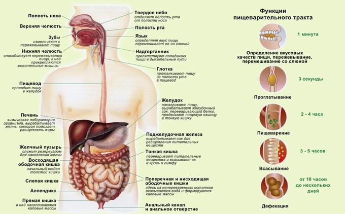 Как происходит пищеварение