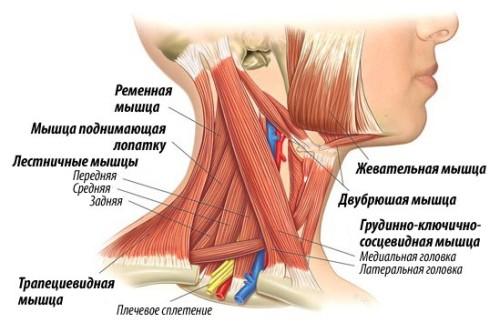 сильные мышцы человека