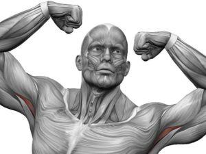 Самая сильная мышца в организме человека