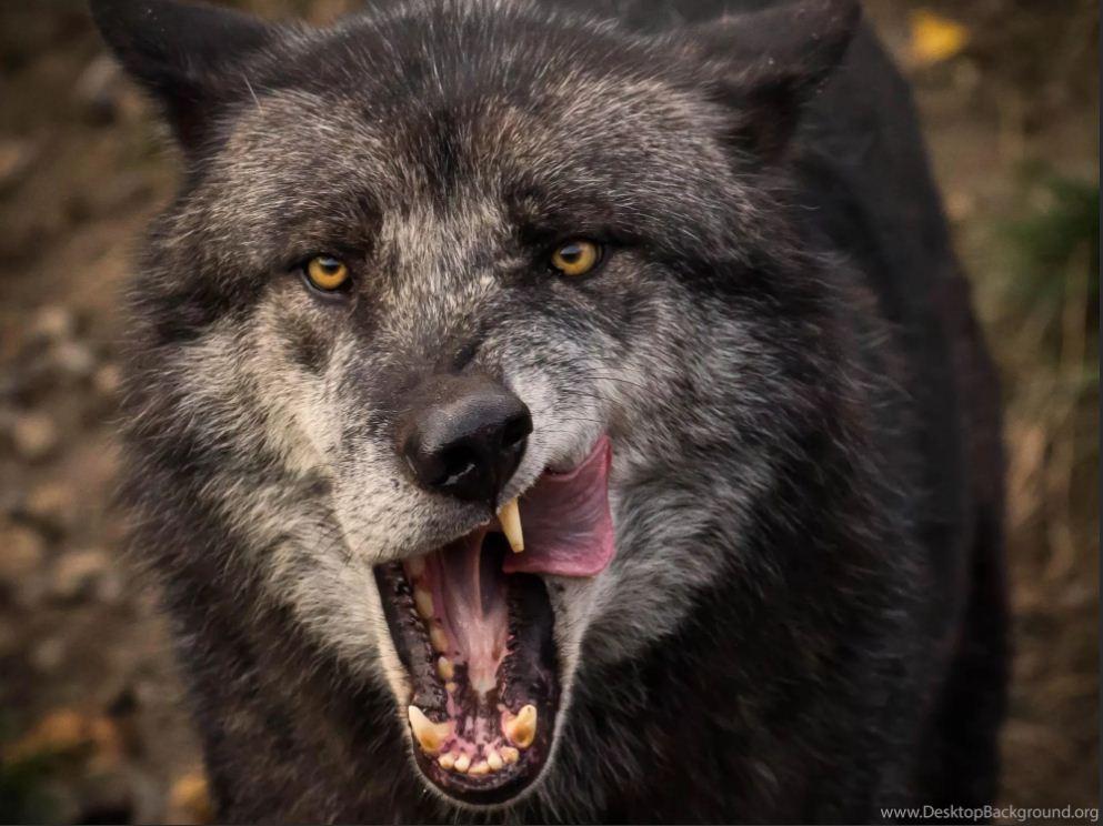 Фото волков (10)