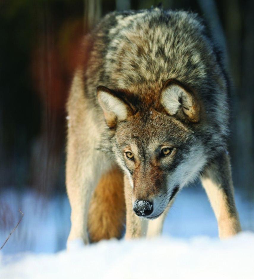 Фото волков (11)