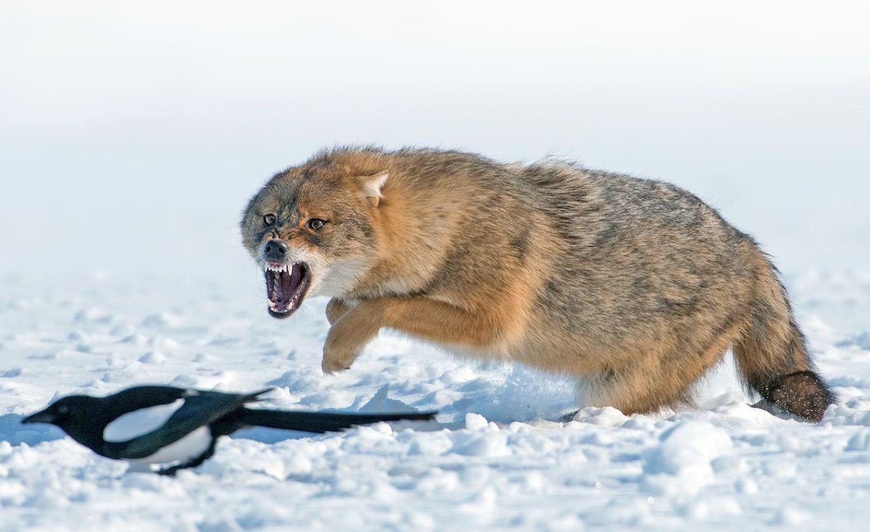Фото волков (9)
