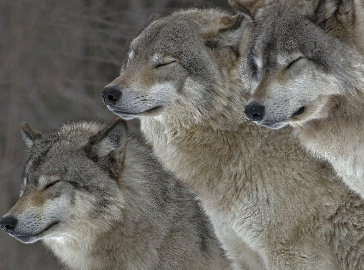 Фото волков
